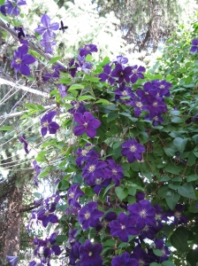 Clematis flowers at clothesline