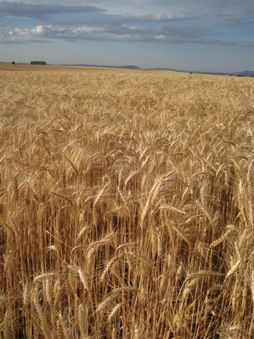 http://dogbarkpark.files.wordpress.com/2010/08/wheat-field-right-before-harvest.jpg